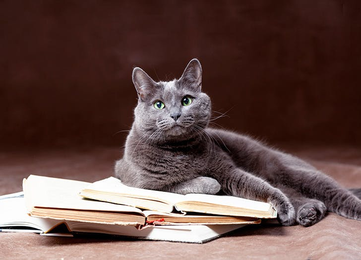 Hypoallergenic Russian Blue Cat lying with books