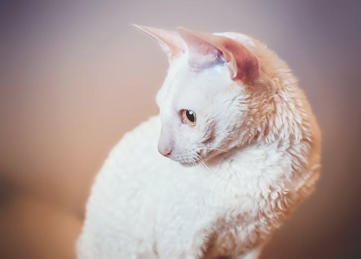 Hypoallergenic white Cornish Rex cat