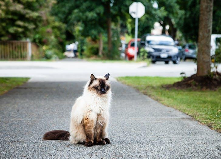 Hypoallergnic Balinese cat