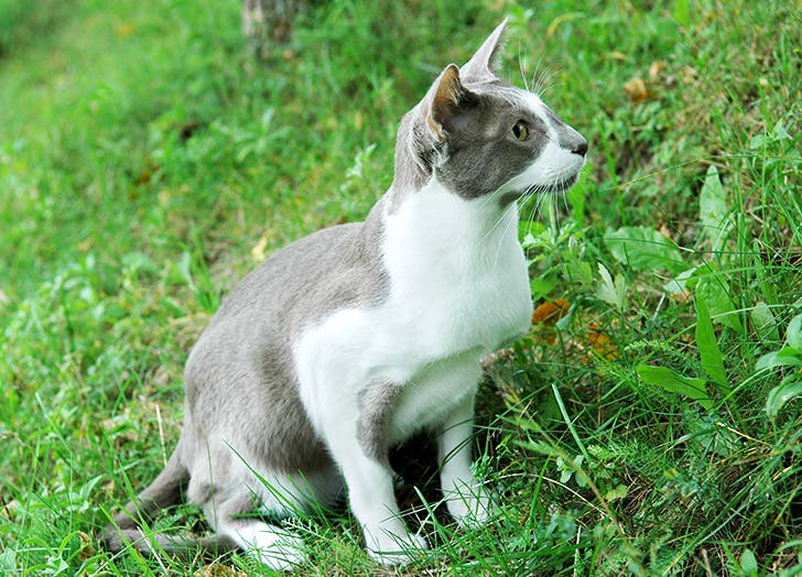White and grey hypoallergenic Oriental Shorthair cat