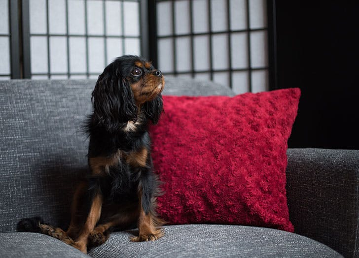 best dogs for apartments cavalier