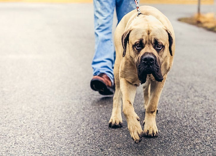 best dogs for apartments mastiff