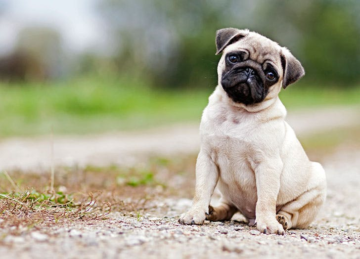 best dogs for apartments pug