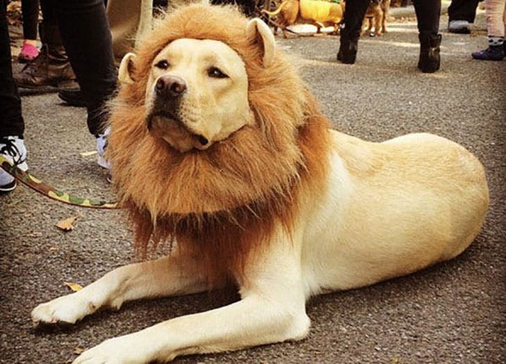 Big dog wearing a lion mane costume for Halloween