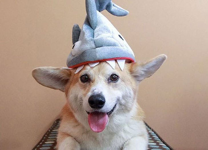 Corgi dog dressed up as a shark for Halloween