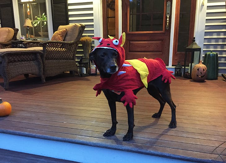 Cute dog dressed as a dragon