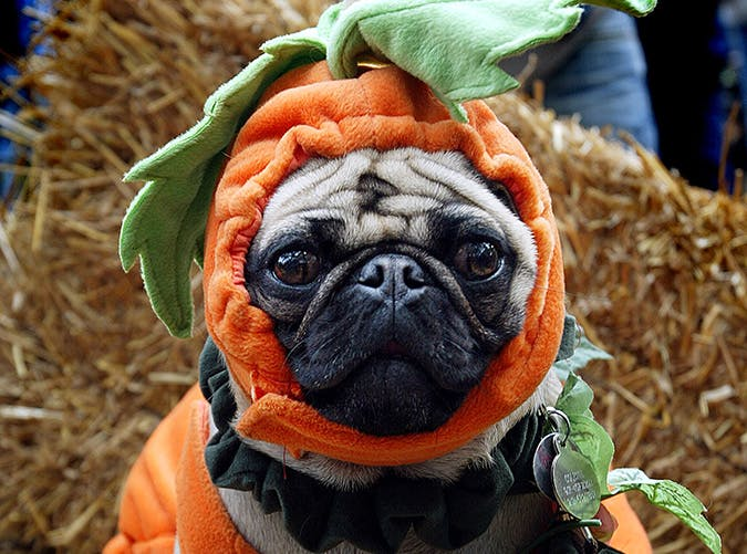 Cute pug dressed up in Halloween costume