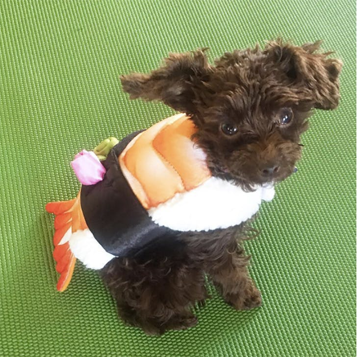 Dog dressed up as sushi for Halloween