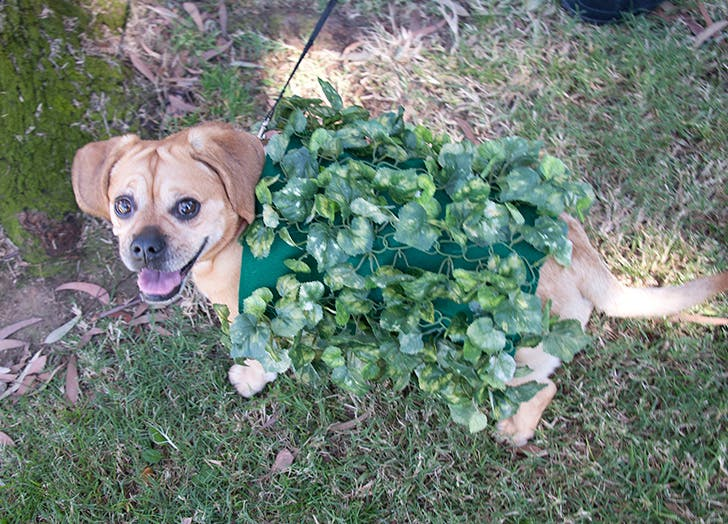 Dog dressed up in leaves for Halloween