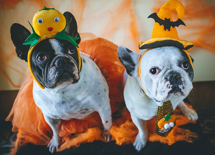 Dogs in Halloween costume
