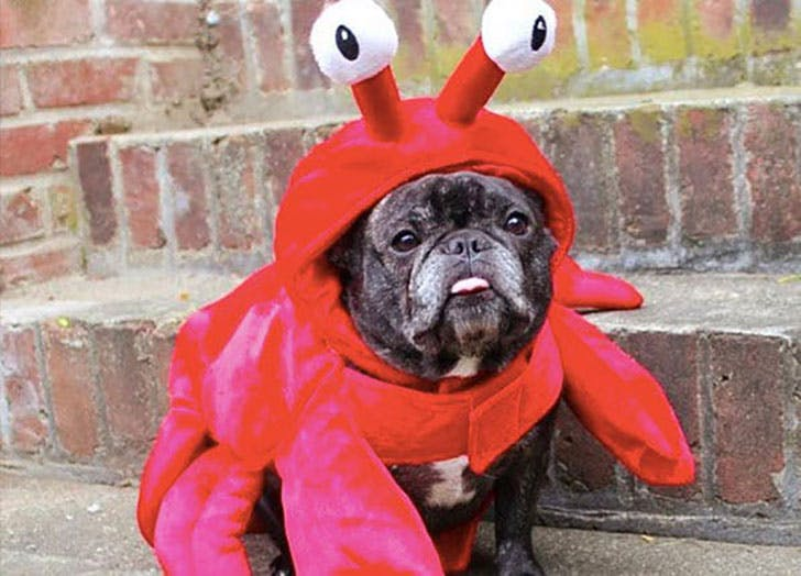 Funny dog dressed up in lobster costume for Halloween