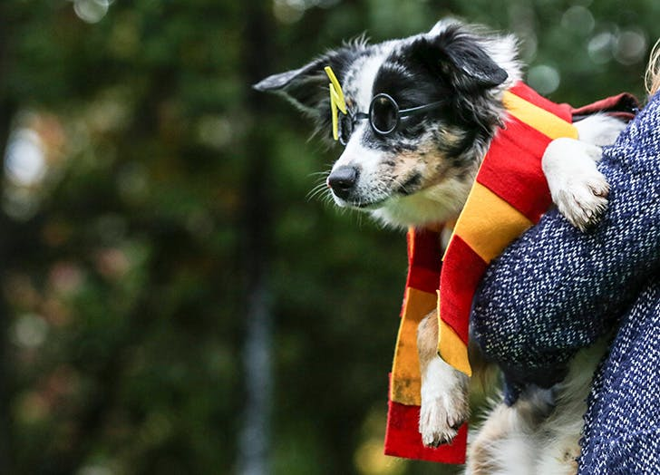 Halloween dog dressed up as Harry Potter