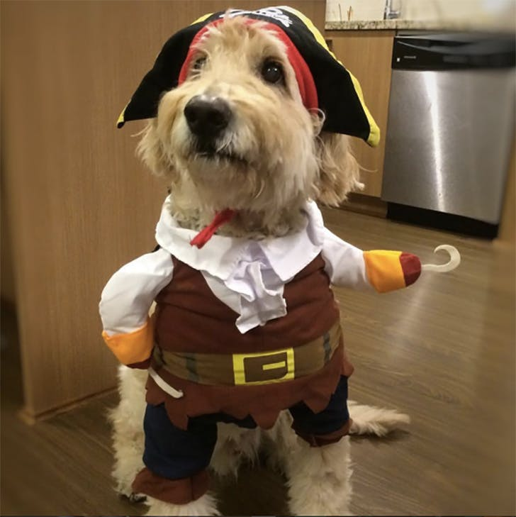 Pirate Halloween dog