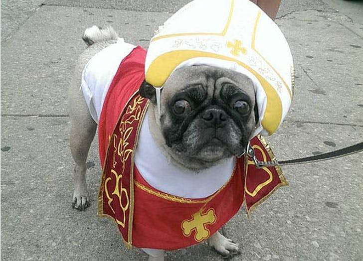 Pug dressed up as the Pope for Halloween