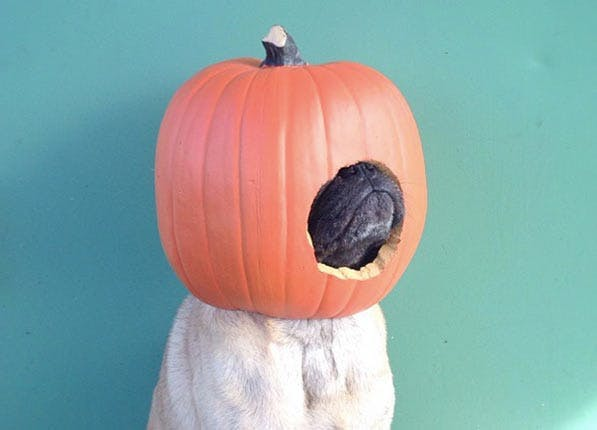 Pumpkin on dog s head for Halloween costume