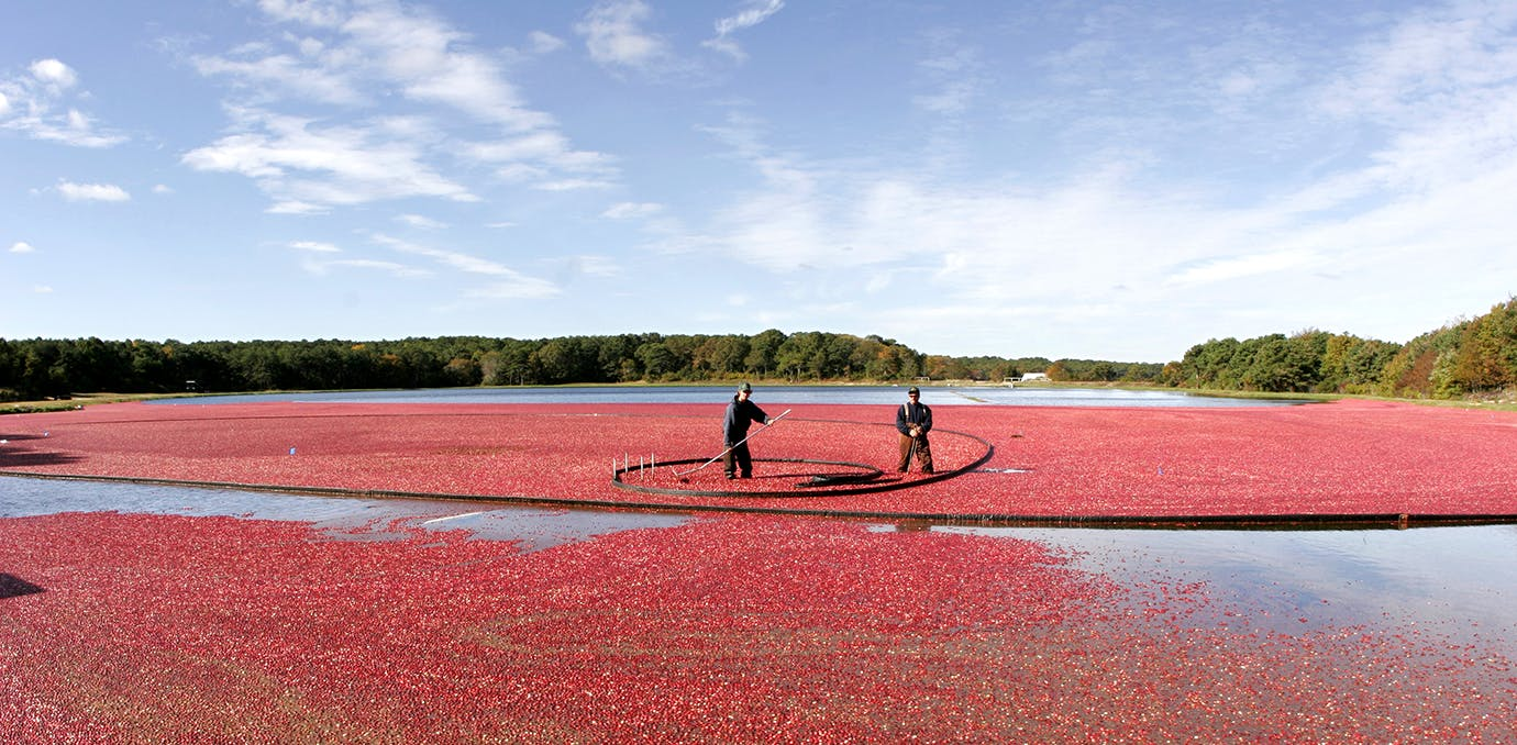 cape cod massachusetts cranberry harvest travel