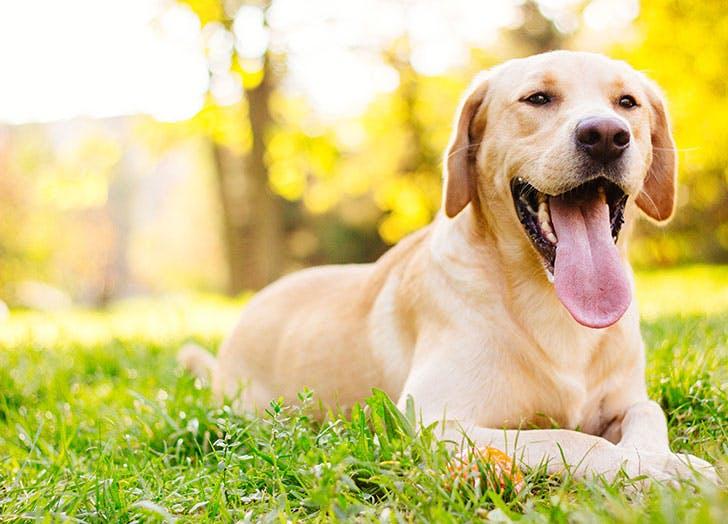 Beautiful labrador retriever dog in the park
