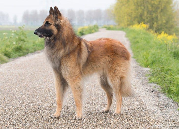 Belgian Shepherd Tervuren dog