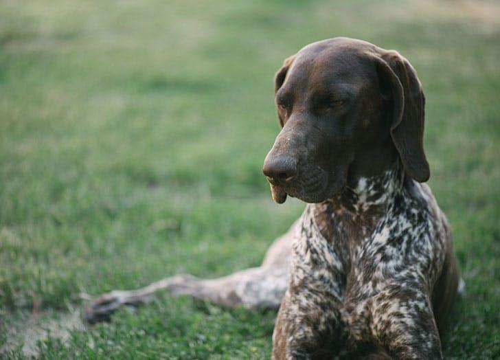 Cute brown German pointer dog