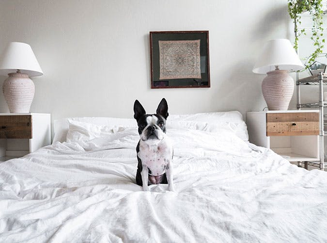French bulldog sitting on bed sheets