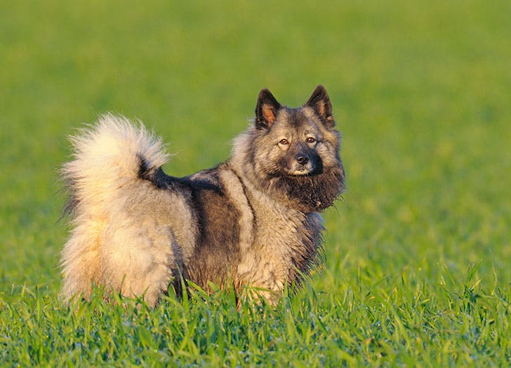 Keeshond dog in a green field