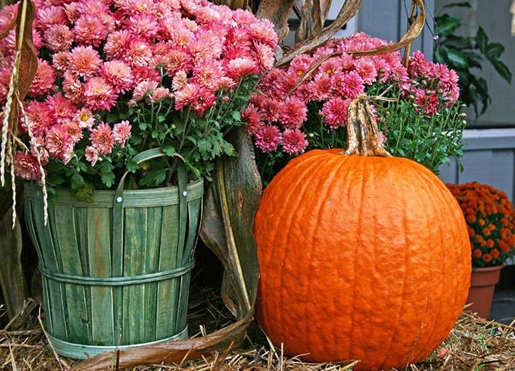 Pink Chrysanthemums with a Pumpkin