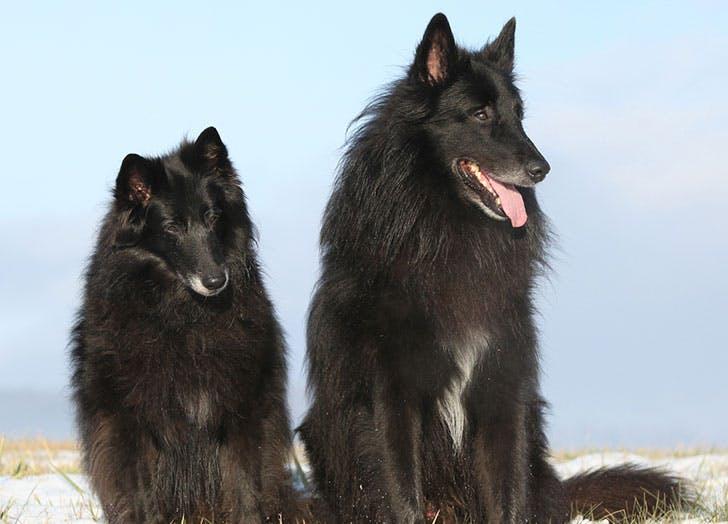 Two beautiful Groenendael dogs