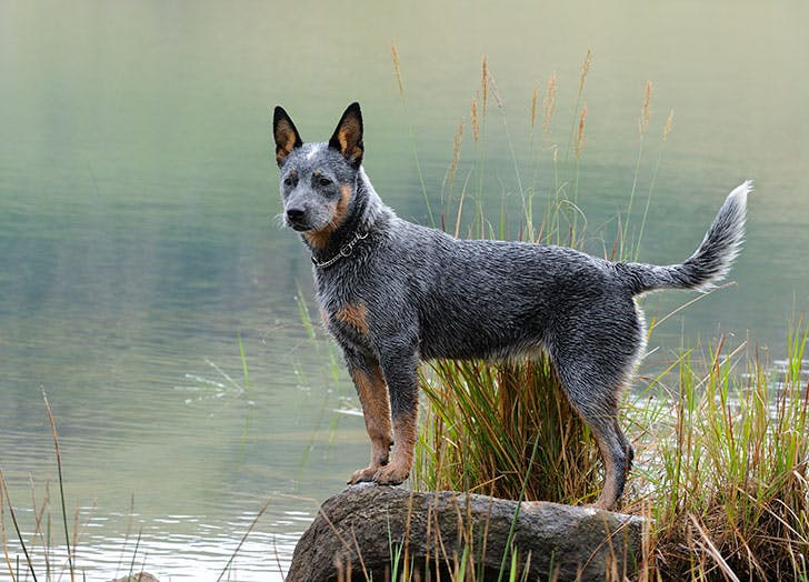 Australian Cattle Dog standing on rock1