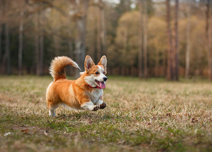 Dog breed Welsh Corgi Pembroke running outside