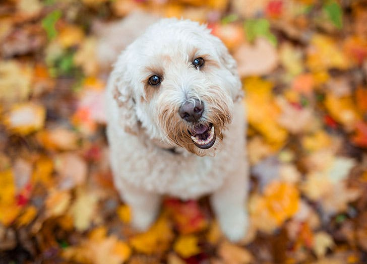 Happy goldendoodle dog outside in autumn
