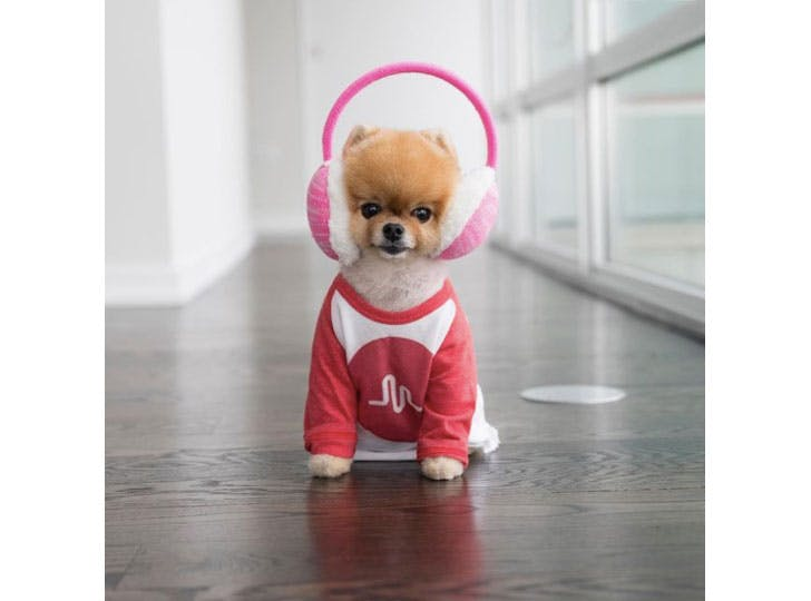 Jiff Pom famous pet on Instagram