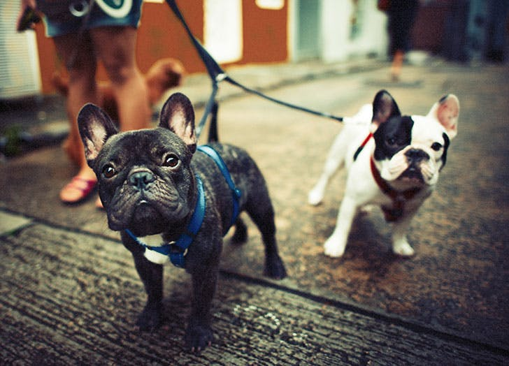 Two French Bulldogs on a leash