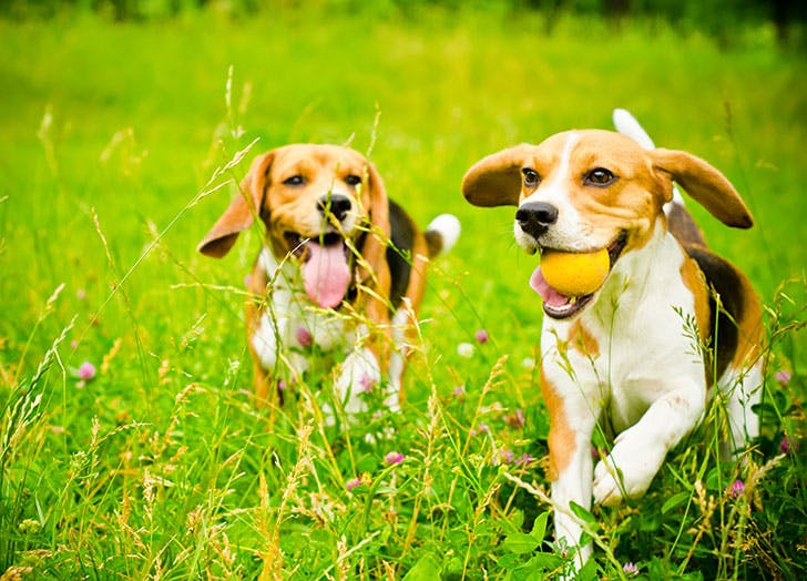 two beagle dogs on a green grass