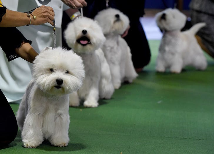 westminster dog show NY