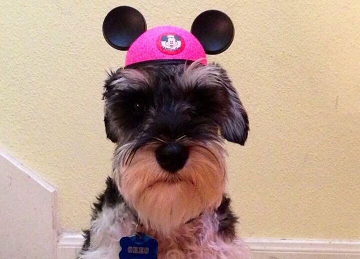 Cute dog wearing Mickey Mouse ears