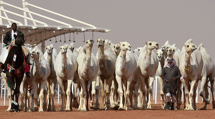 A Dozen Camels Were Disqualified from a Beauty Contest Because of Botox and We Have So Many Questions
