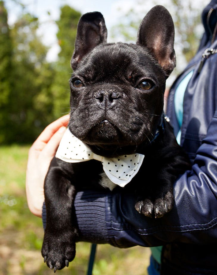 french bulldog dog breed myers briggs