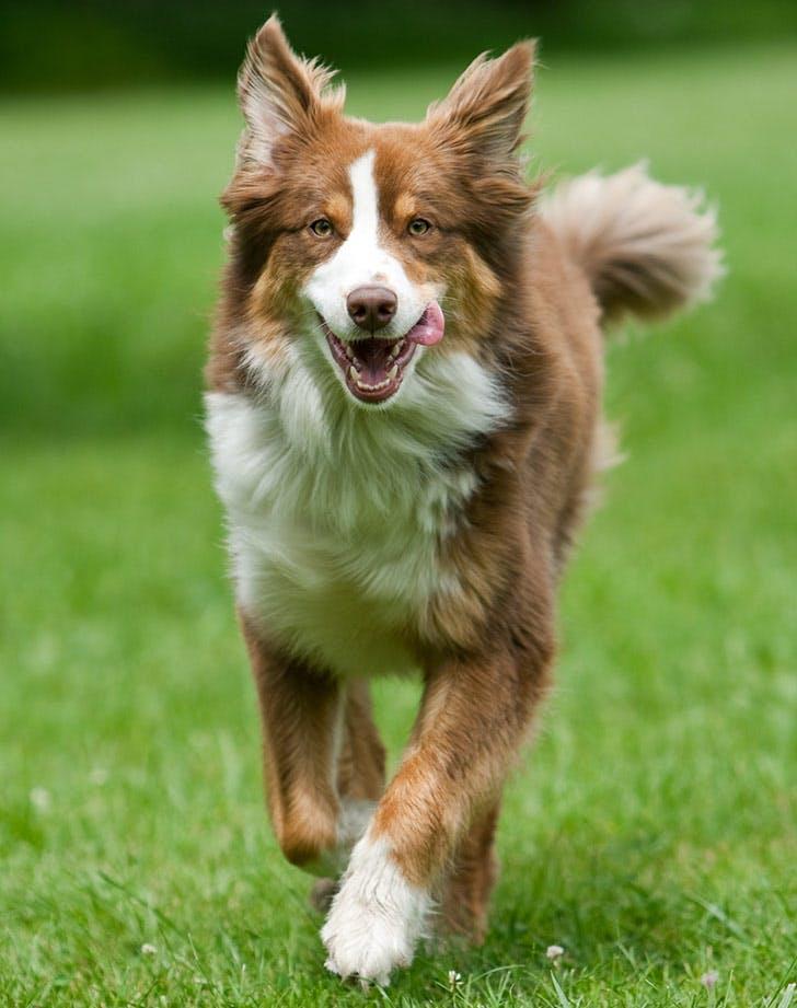 myers briggs dog breeds australian shepherd