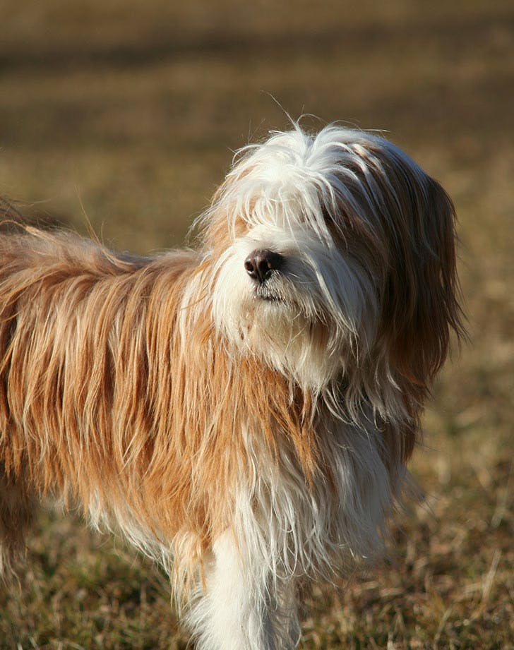 myers briggs dog breeds tibetan terrier