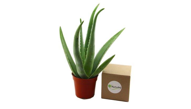 Aloe Vera Amazon