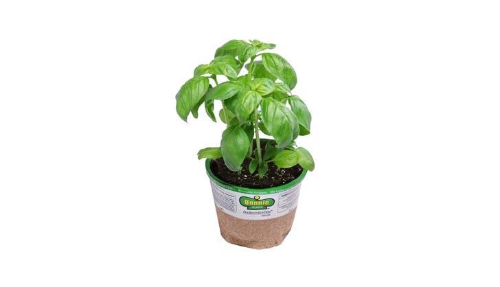 Amazon Basil Plant