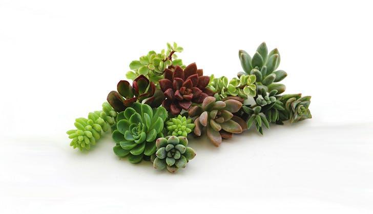 Amazon Succulent Set of 10