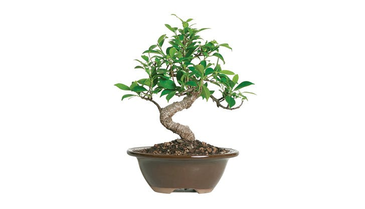 Bonsai Tree Amazon