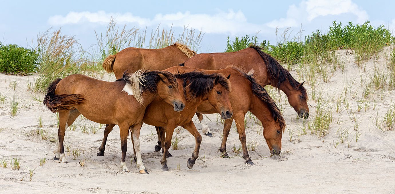 CHINCOTEAGUE ISLAND HORSES ON BEACH