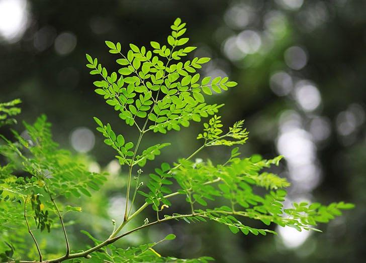 Moringa leaves and its brances