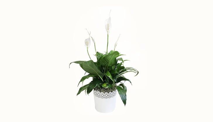 Pleace Lily Plant in Planter Amazon