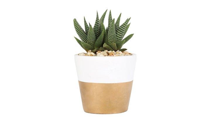 Succulent in Gold Pot