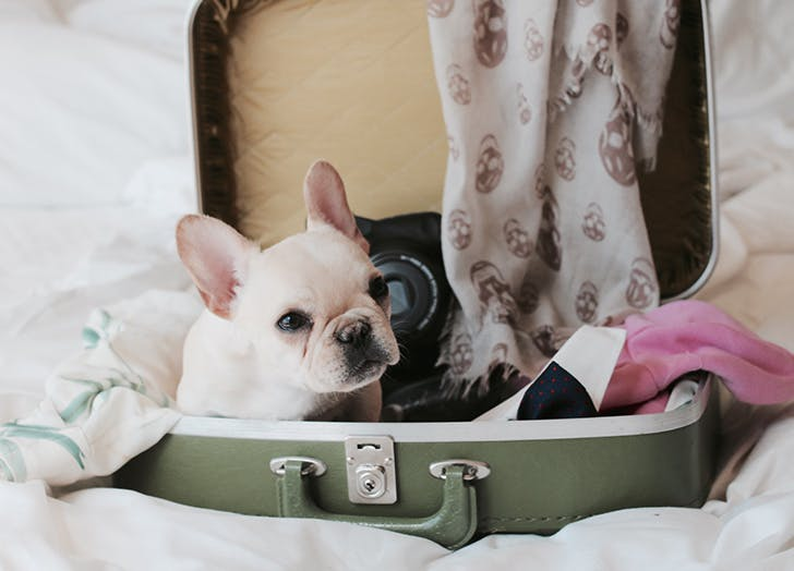 cute french bulldog puppy sitting in a suitcase