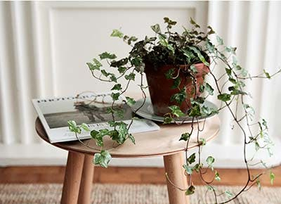 english ivy house plant 400