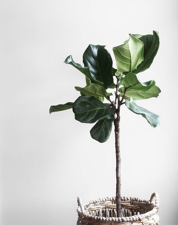 fiddle leaf fog tree 728